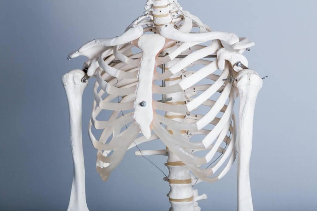 胸郭部の骨模型